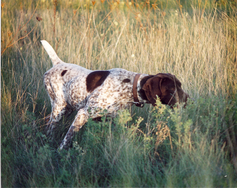 German Shorthaired Pointer on point